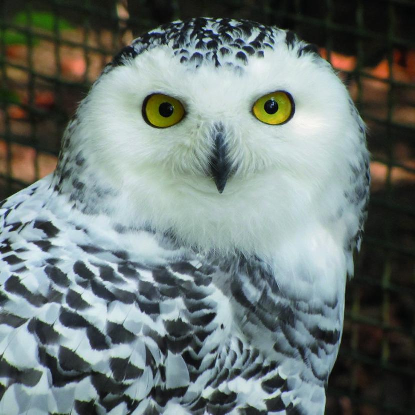 Snow Owl – Ötzi-Dorf und Greifvogelpark